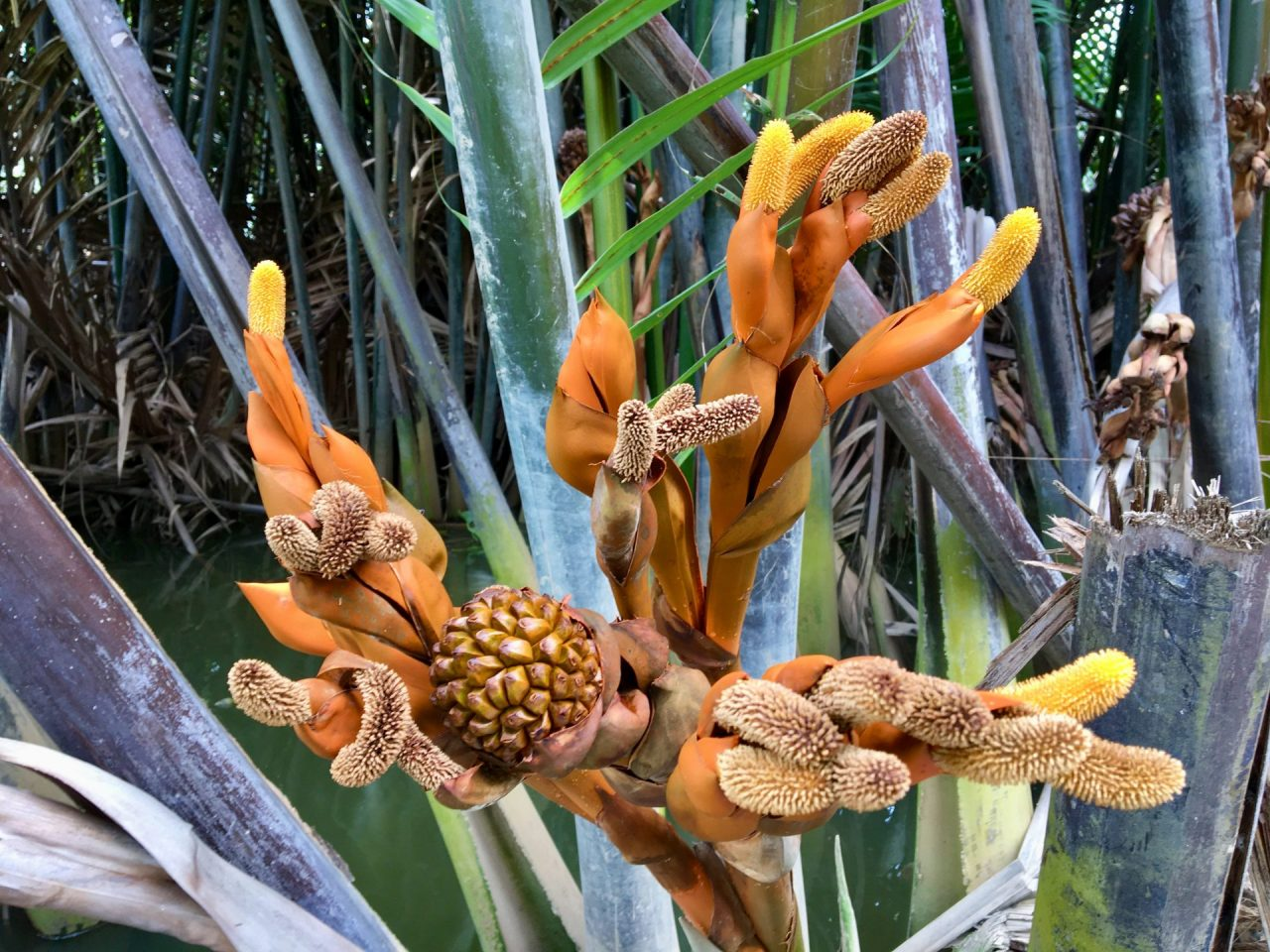 Dừa Nước - Vietnamese Water Coconut Flower